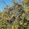 Προύνος ο ακανθώδης ή Τσαπουρνιά (Prunus spinosa)