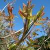 Τα νεαρά φύλλα (τσιτσίραβλα)