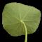 φύλλο καπουτσίνου