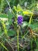 Σταφυλουάκινθος (Muscari comosum)